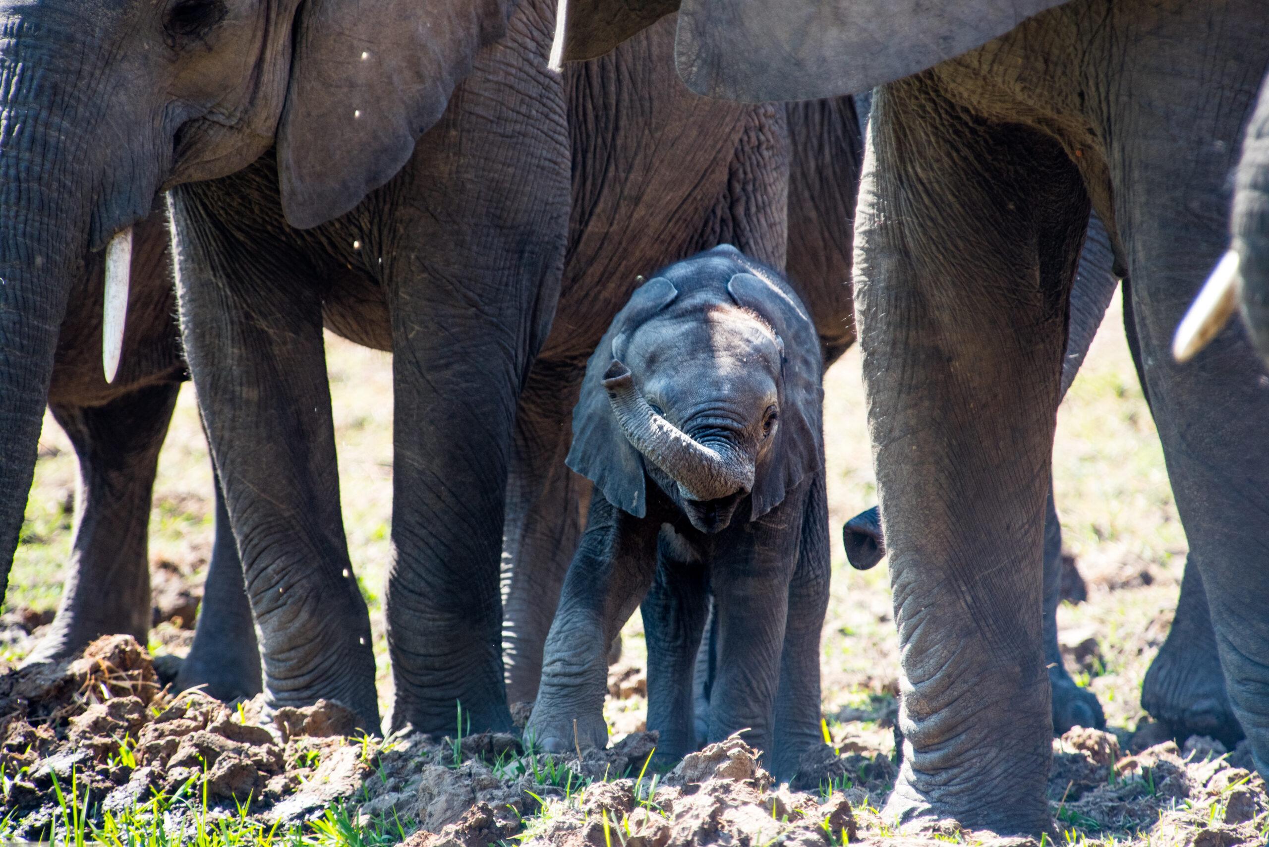 Baby Elephant with their herd Botwana