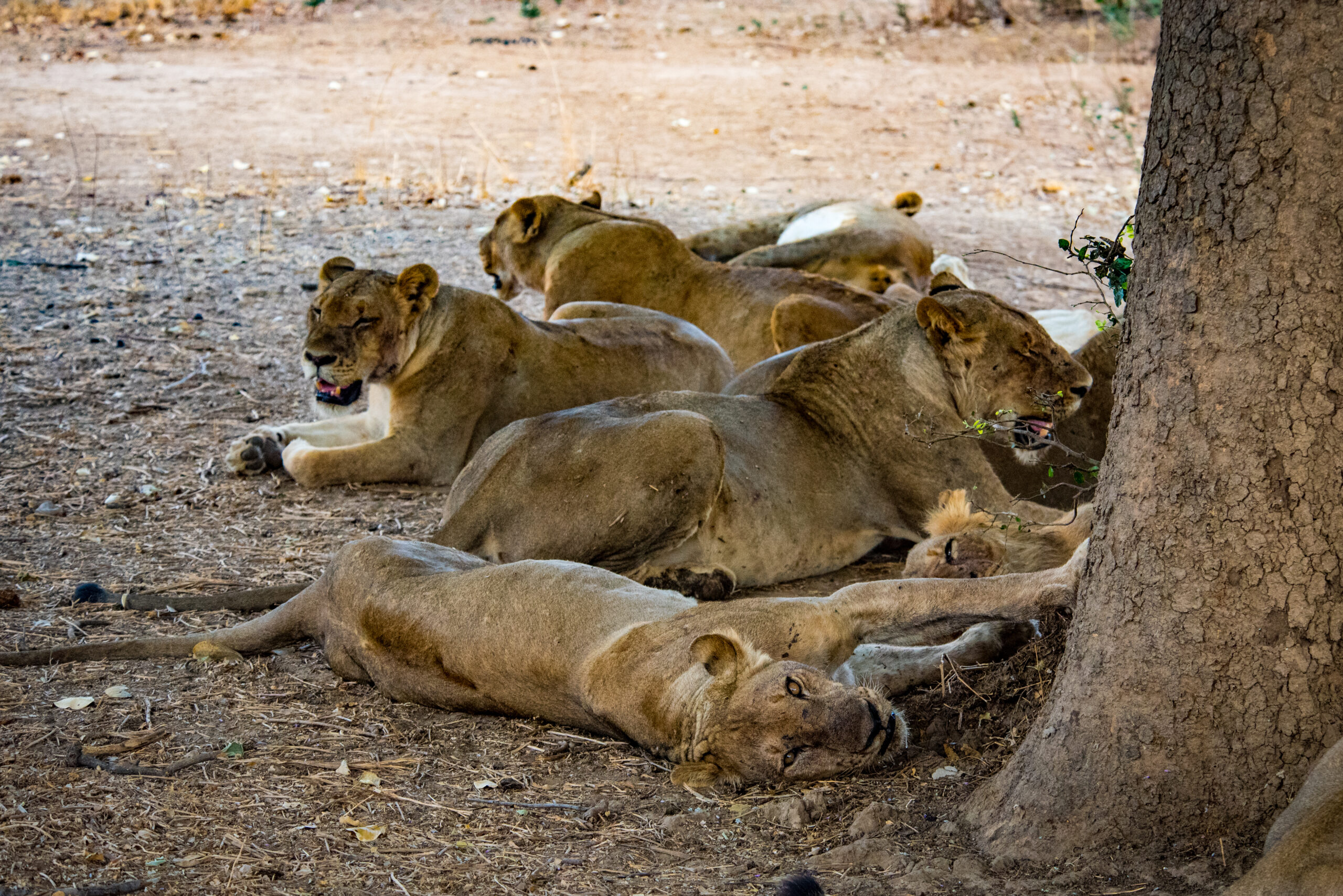 Pack of lions playing, exclusive adventures
