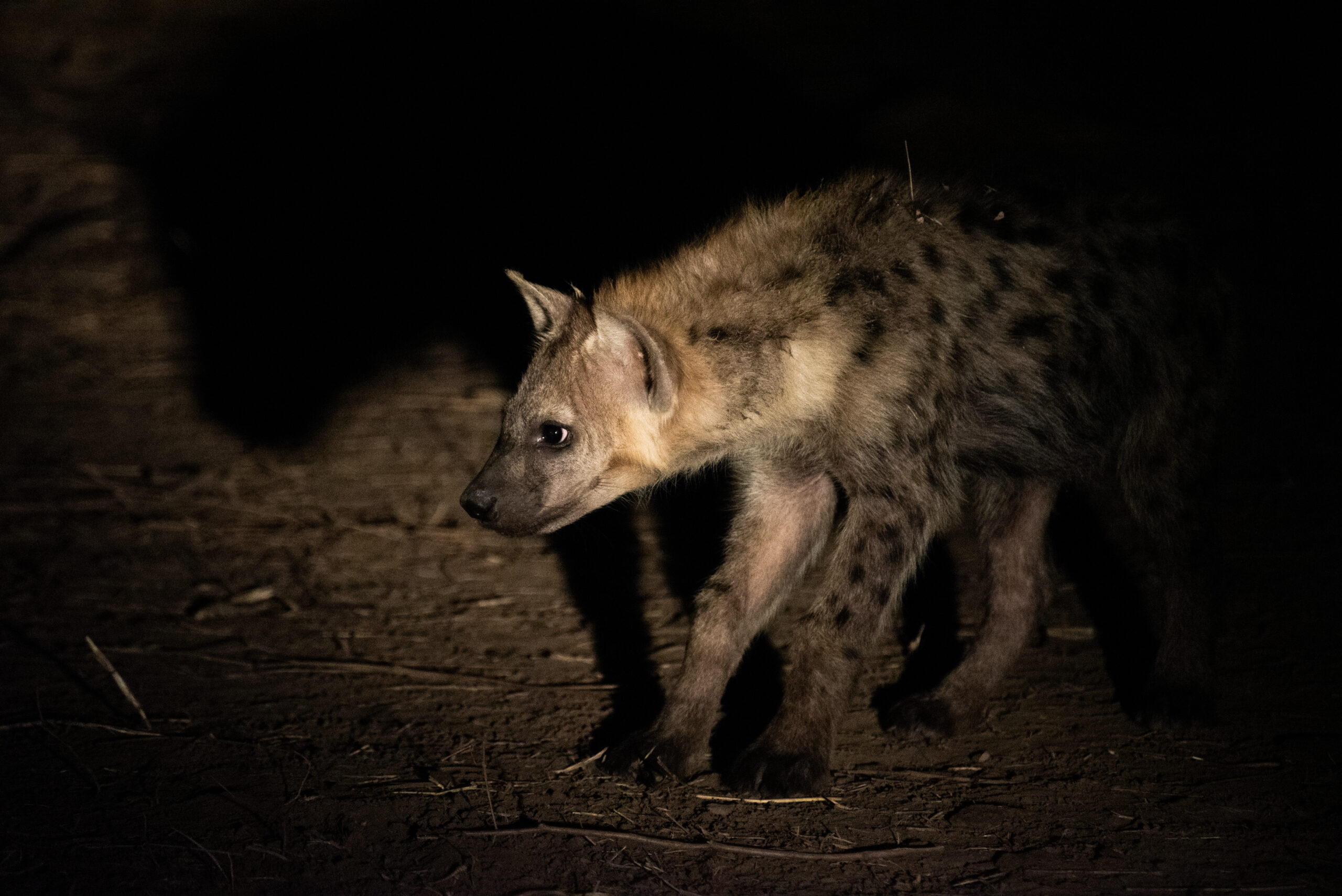Nighttime animal sightings Botwana