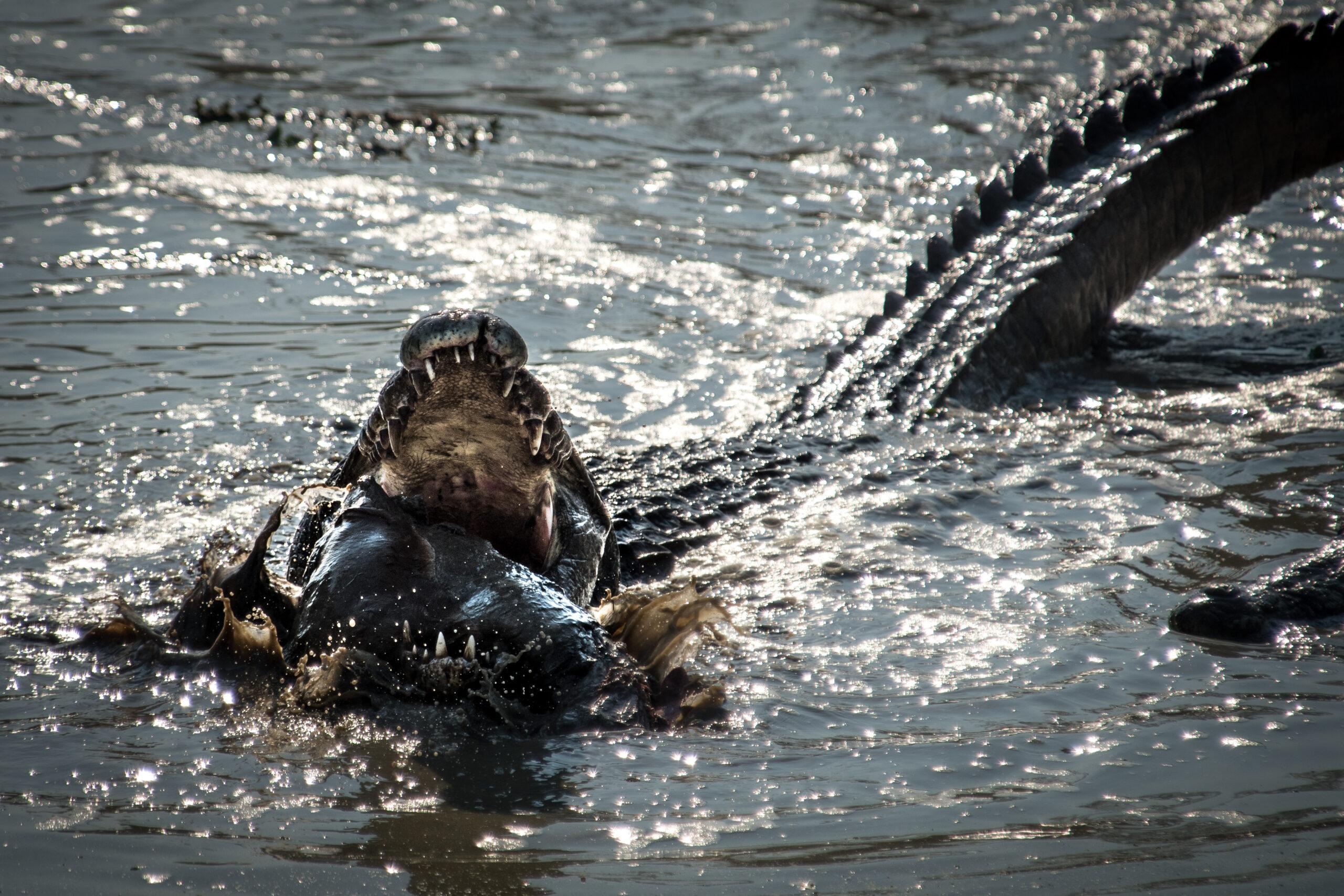 Crocodile sighting on safari
