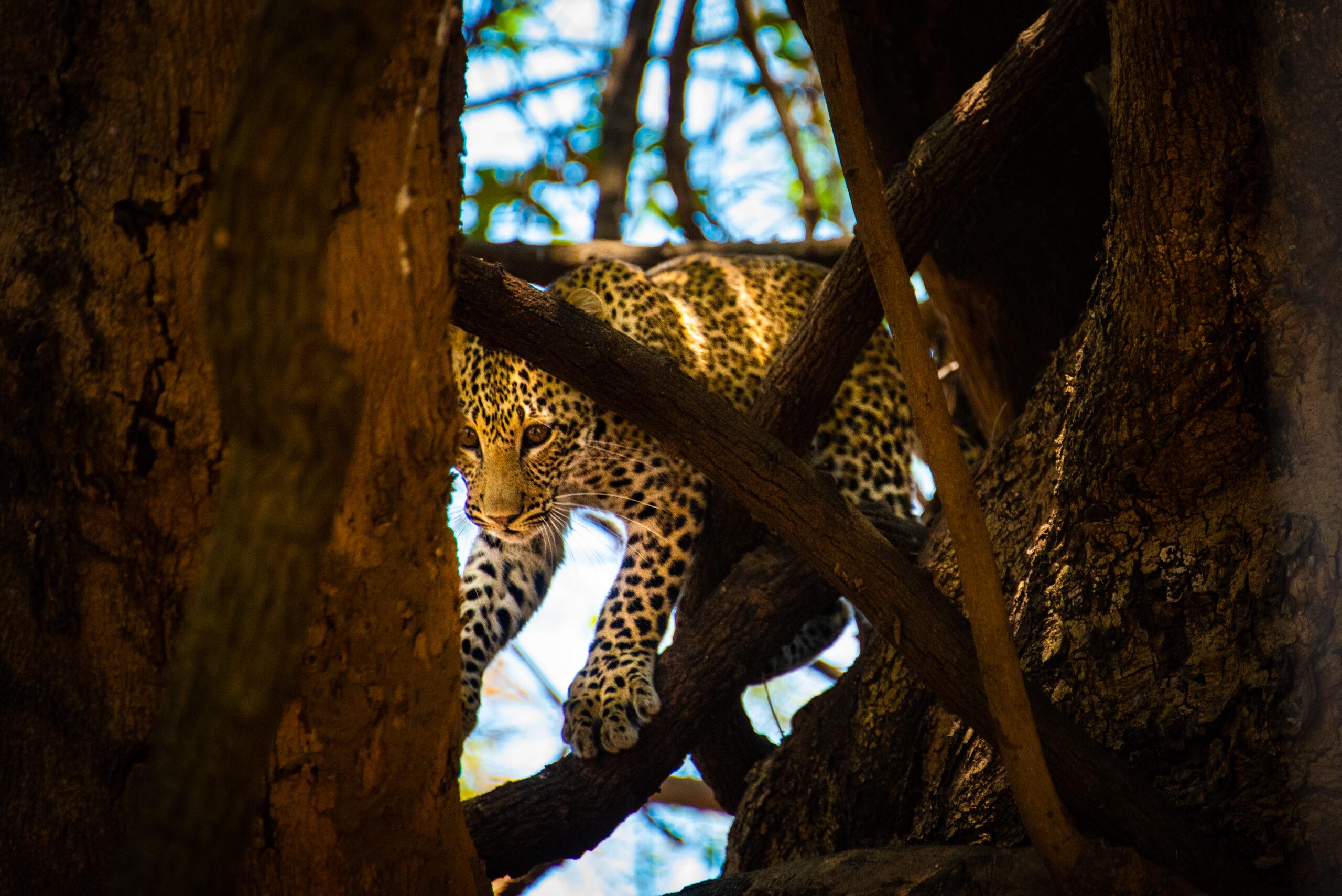 Leopard peering through the tree, exclusive adventures