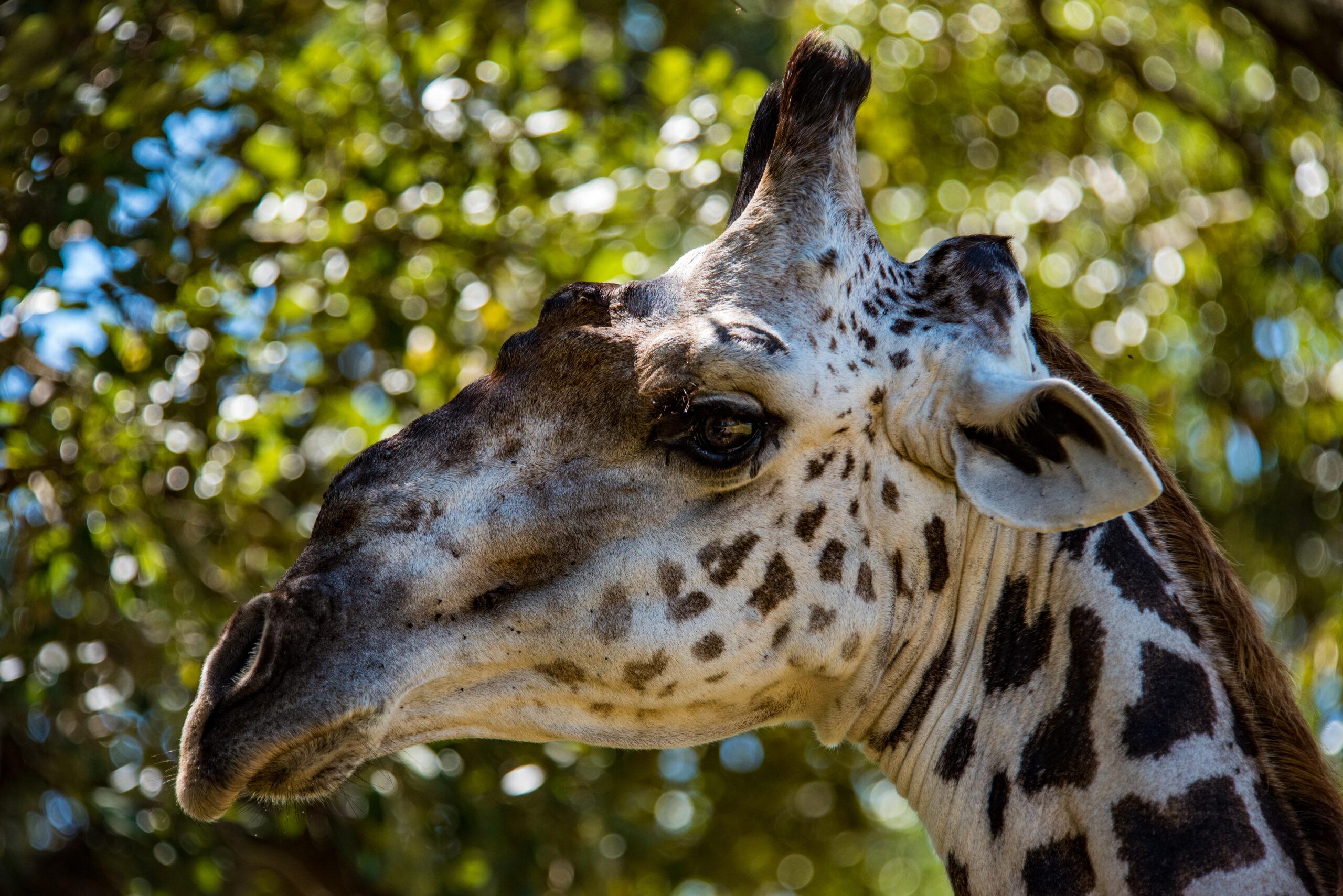 Giraffe luxury safari