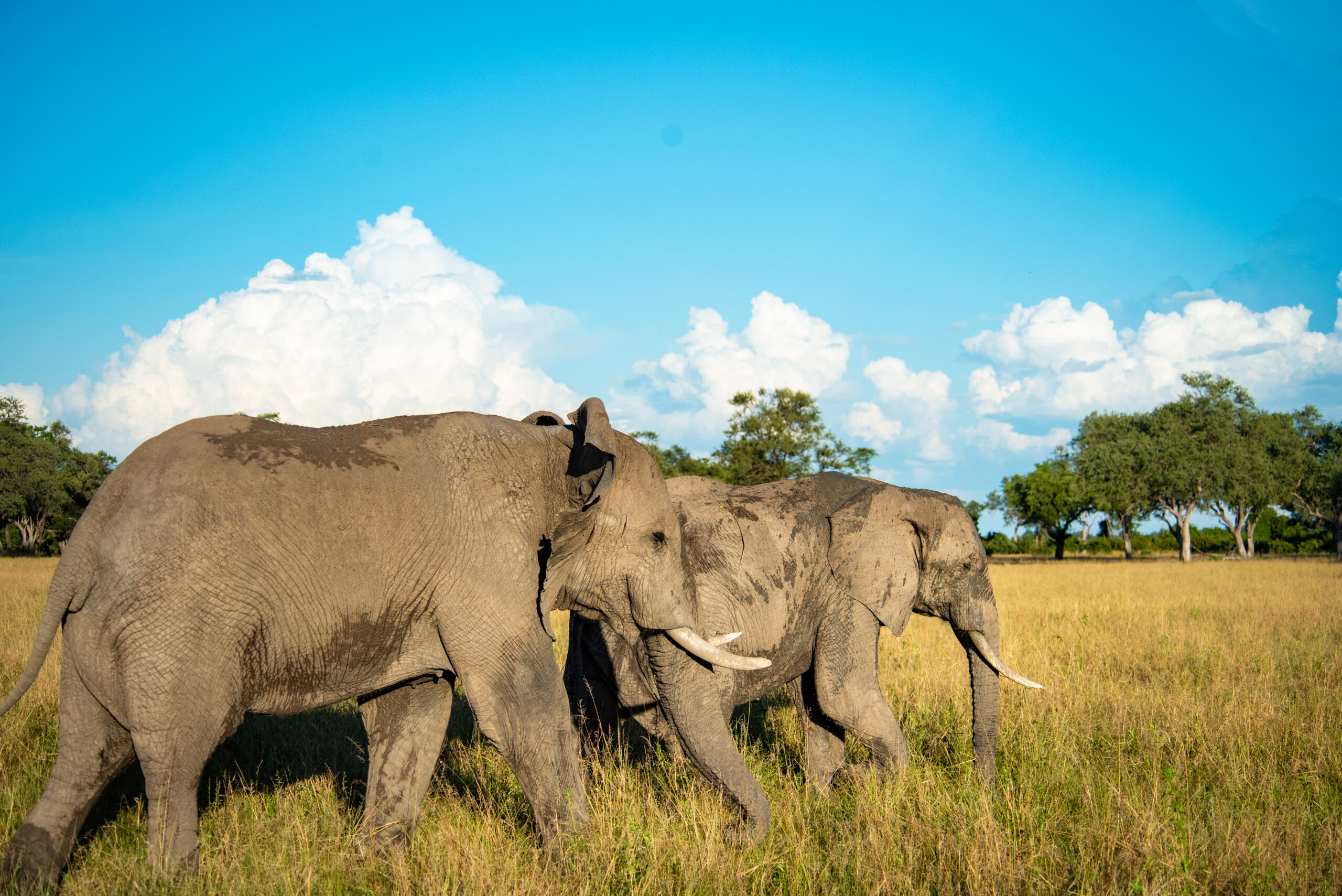 Herd of Elephants Nokanyana