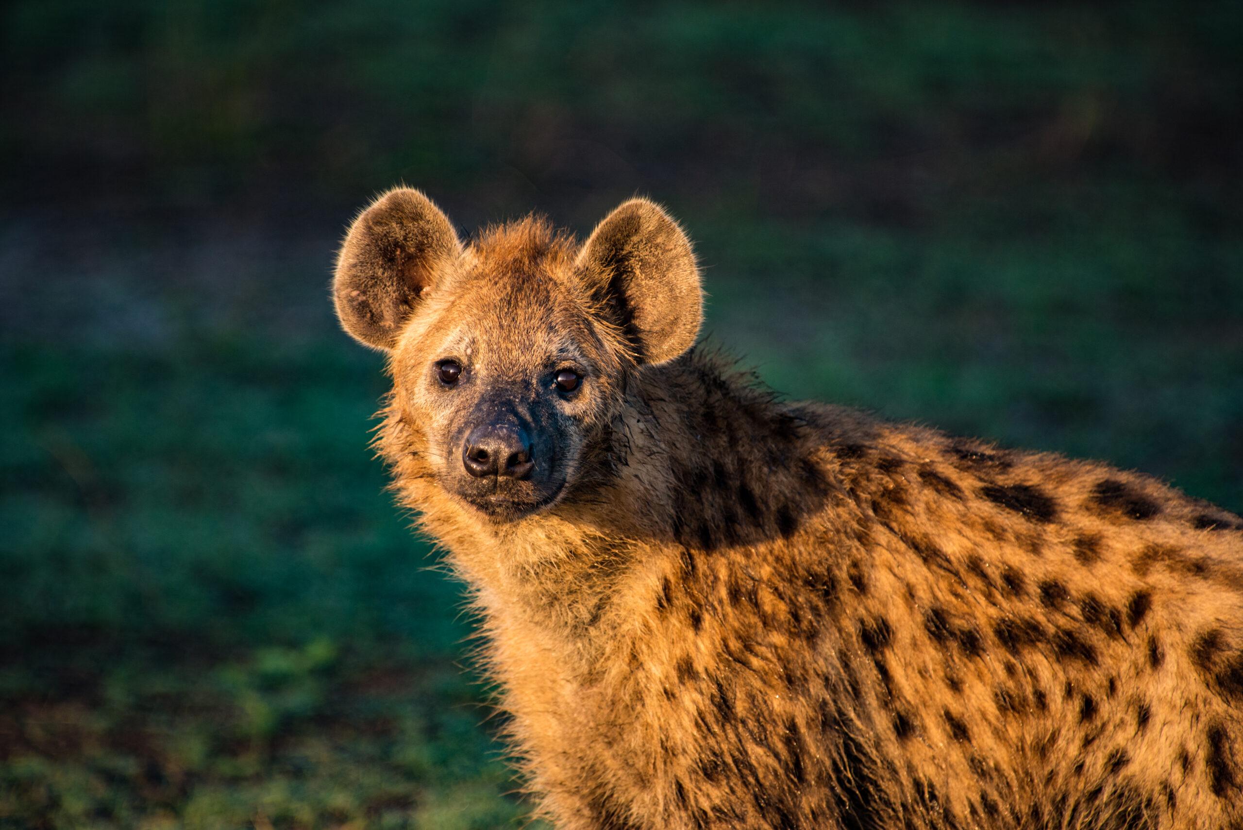 Hyena on game drive at Nokanyana