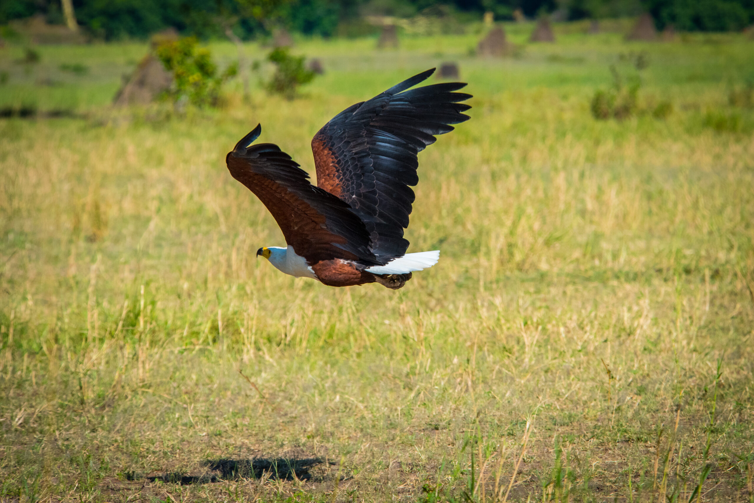 Eagle flies over Nokanyana