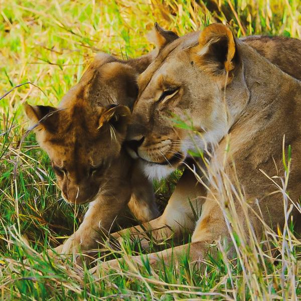 Big game sighting on safari
