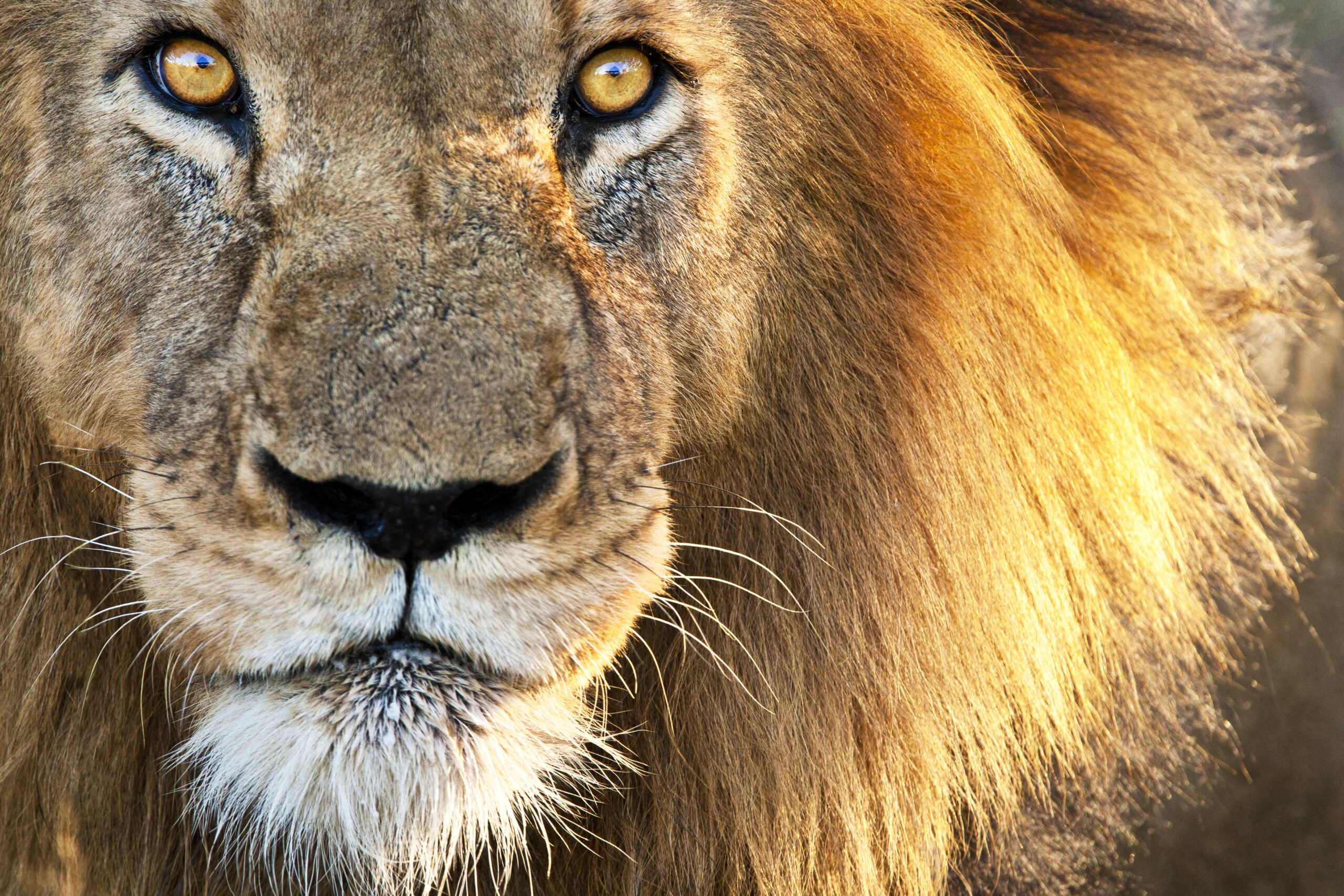Great lion