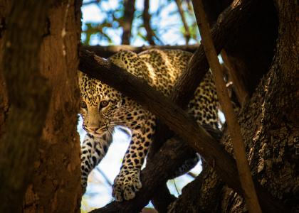 Leopard peering through the tree, exclusive adventures